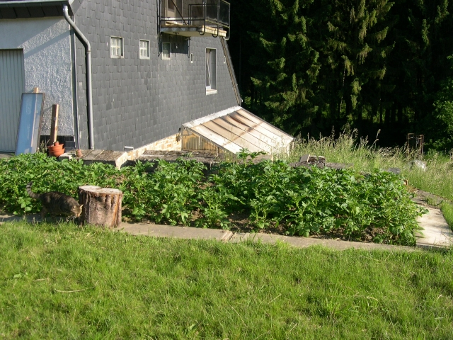 Culture de pommes de terre patates au jardin - Quand planter les patates ...