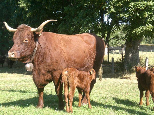 Vaches et Elevage Salers en Livradois 1252156556ckF6Oj