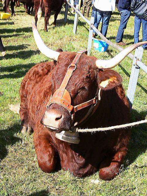 Vaches et Elevage Salers en Livradois 1252960701xur6fs