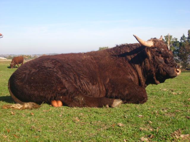 Vaches et Elevage Salers en Livradois 1257704783FuwVwv