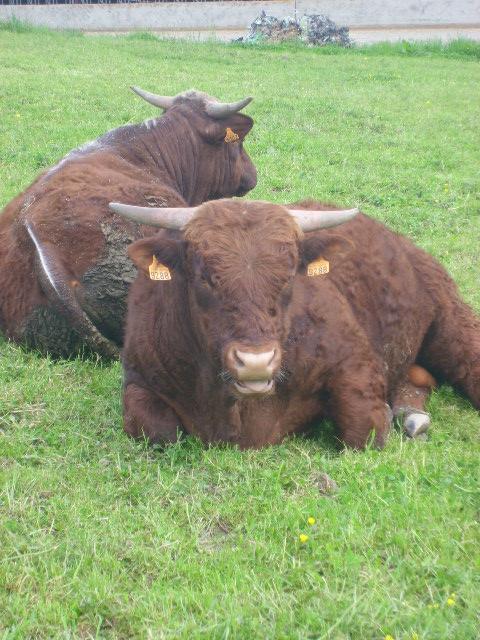 Vaches et Elevage Salers en Livradois 1277800301FgxBcc