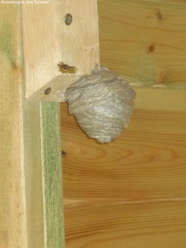 anti guepe maison pourquoi choisir un pour dtruire un nid de gupes piege gupes naturels les. Black Bedroom Furniture Sets. Home Design Ideas