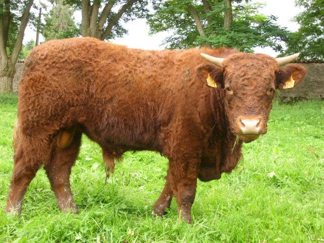 Vaches et Elevage Salers en Livradois 1281800682hACpnk