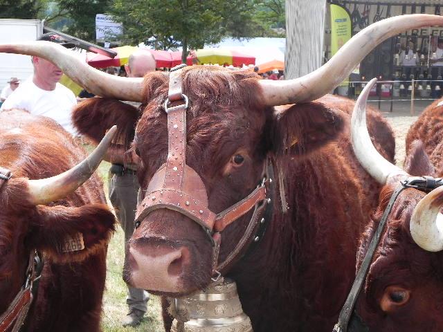 Vaches et Elevage Salers en Livradois 128591970761H4UE