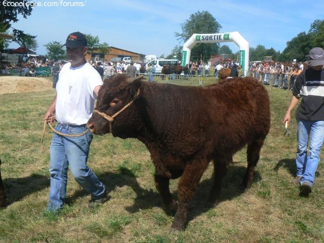 Vaches et Elevage Salers en Livradois 1285919779Xz1doP