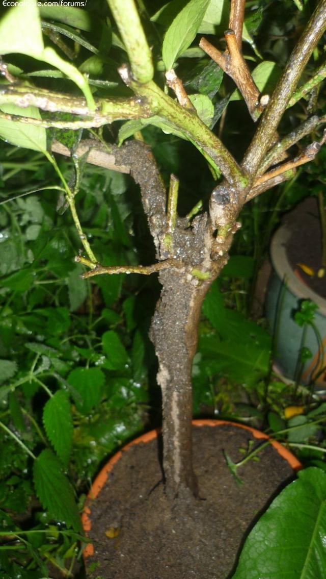 Fourmilli re dans un pot de fleur anti fourmis naturel for Anti fourmis naturel jardin