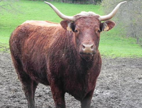 Vaches et Elevage Salers en Livradois - Page 2 13346503770XgYiE