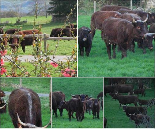 Vaches et Elevage Salers en Livradois - Page 2 1398004023sOx64g