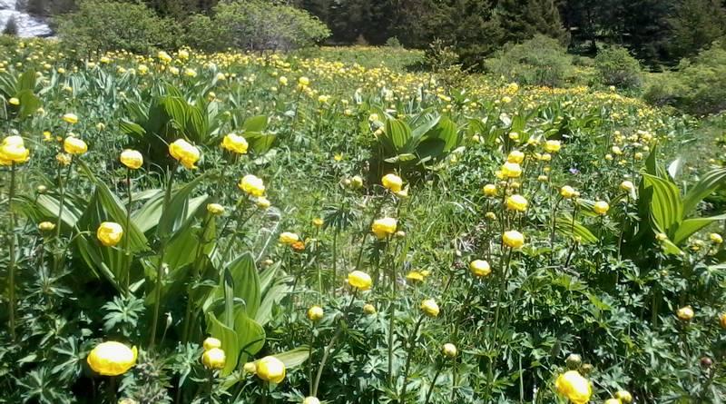 ਪੀਲਾ meadow.jpg