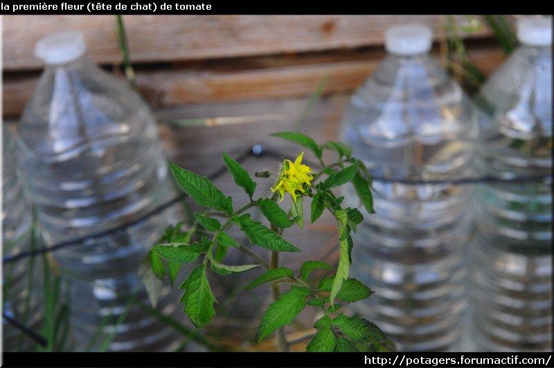 اولین گل (سر گربه) گوجه فرنگی. JPG