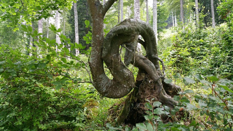 Arborele răsucit.jpg