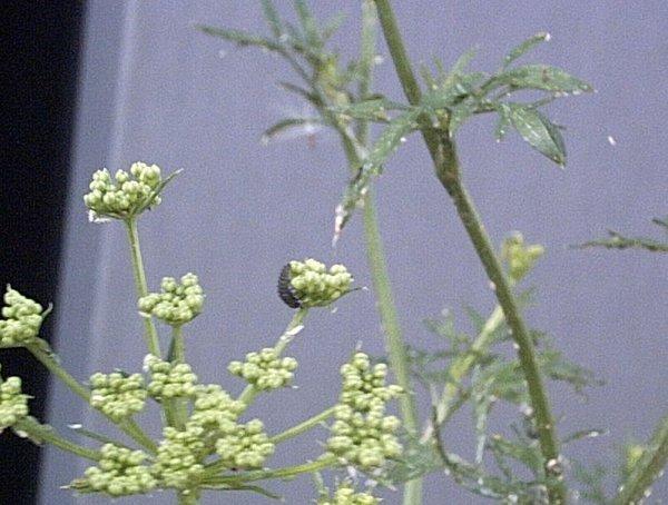 larve-buburuze-pic439.jpg