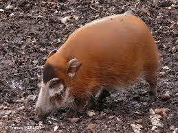 çalı domuzu.jpg