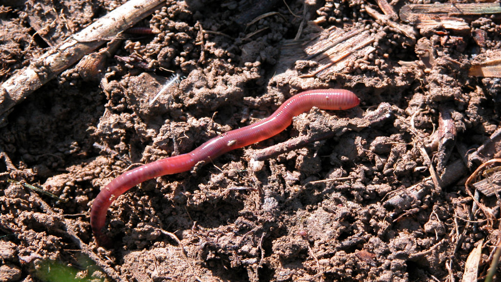 Lazy garden: worms and straw