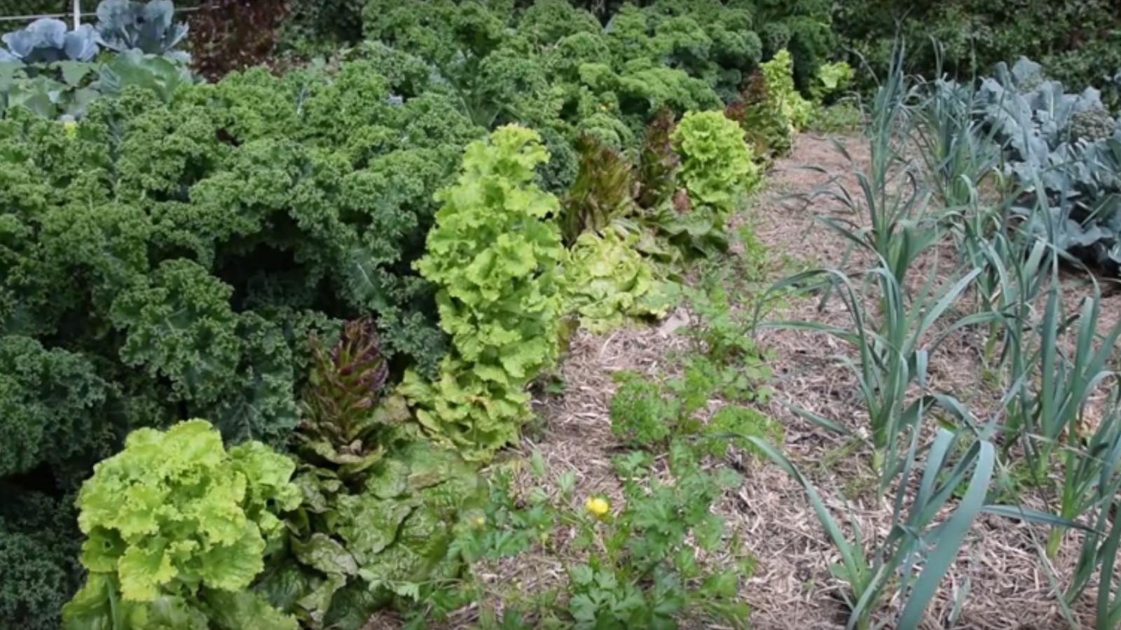 怠け者の庭からサラダ